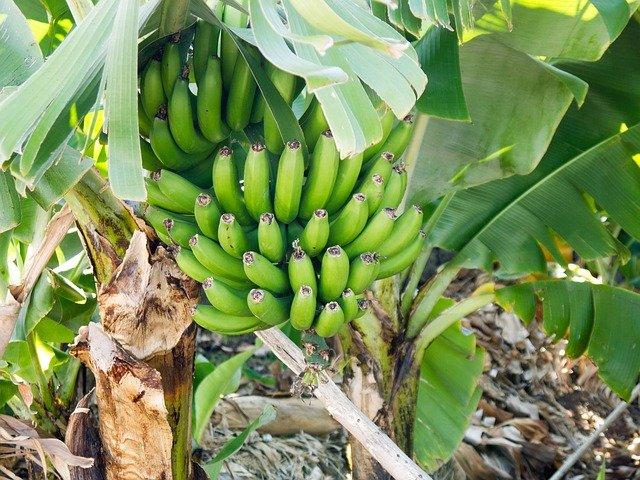 velký banánovnik