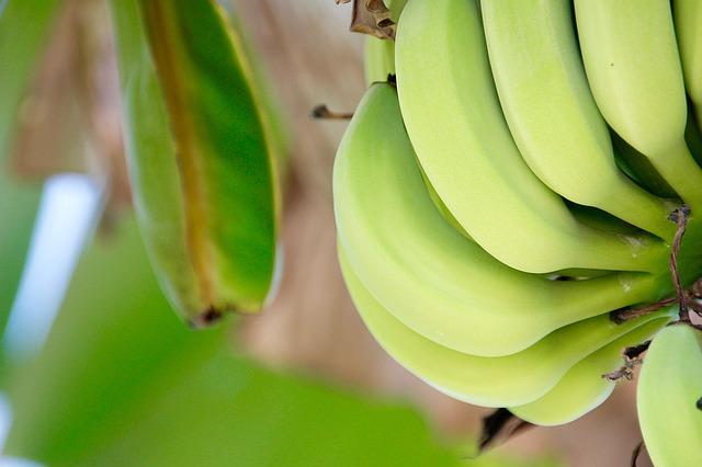 banán rostlina